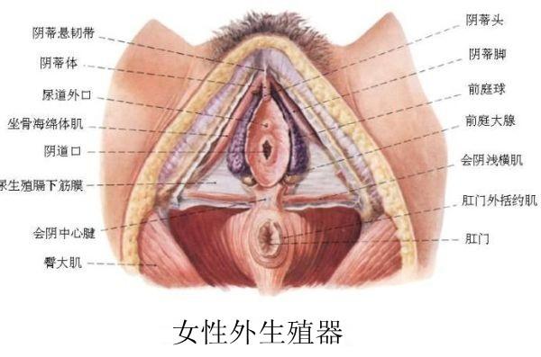 子宫输卵管解剖结构示意图
